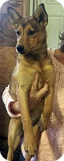 German Shepherd Dog/Corgi Mix Dog for adoption in Loogootee, Indiana - Dixie
