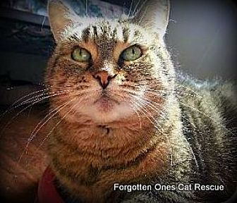 Domestic Shorthair Cat for adoption in Richmond Hill, Ontario - Holly (Bonded to J.J.)