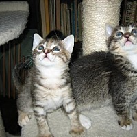 Domestic Shorthair Kitten for adoption in Los Angeles, California - Spaghetti
