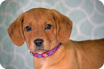 Beagle/Labrador Retriever Mix Puppy for adoption in Allentown, Pennsylvania - Nansi