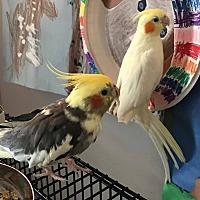 Adopt A Pet :: Susan and Lightning - St. Louis, MO