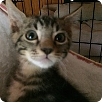 Domestic Shorthair Kitten for adoption in Bakersfield, California - YODA