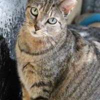 Adopt A Pet :: Tiger Lily - Bradenton, FL