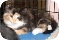 Domestic Mediumhair Kitten for adoption in Honesdale, Pennsylvania - Priscilla