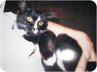 Domestic Mediumhair Cat for adoption in Randolph, New Jersey - Jack - sweet and gentle