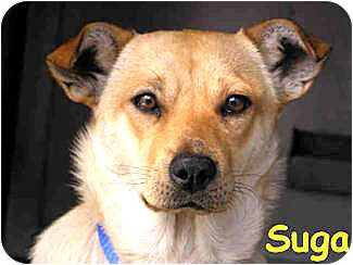 Terrier (Unknown Type, Medium)/Shepherd (Unknown Type) Mix Dog for adoption in Vista, California - Suga