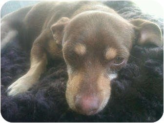 Chihuahua/Dachshund Mix Dog for adoption in Arenas Valley, New Mexico - Poppy