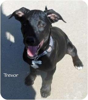 Labrador Retriever/Dalmatian Mix Puppy for adoption in Mandeville Canyon, California - Trevor