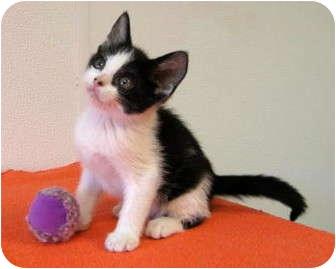 Domestic Shorthair Kitten for adoption in Overland Park, Kansas - Honey