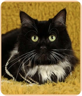 Domestic Mediumhair Cat for adoption in Las Vegas, Nevada - Lulu