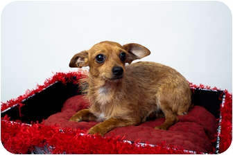 Chihuahua/Yorkie, Yorkshire Terrier Mix Dog for adoption in Edmond, Oklahoma - Georgie
