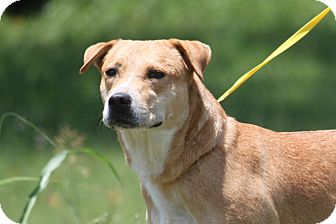 Labrador Retriever/American Pit Bull Terrier Mix Dog for adoption in McKinney, Texas - Karla