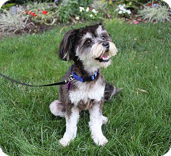 Yorkie, Yorkshire Terrier/Maltese Mix Dog for adoption in Newport Beach, California - MILO