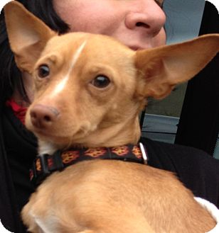 Chihuahua/Italian Greyhound Mix Dog for adoption in Thousand Oaks, California - Winkie