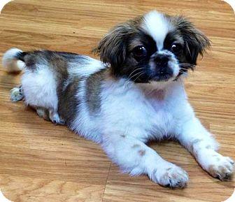Pekingese Mix Puppy for adoption in Oswego, Illinois - I'M ADOPTED Jellybean Howells