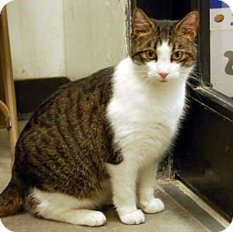 Domestic Shorthair Cat for adoption in Barrie, Ontario - Boots