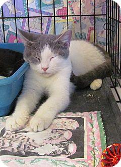 Domestic Shorthair Kitten for adoption in Phoenix, Arizona - Bogie