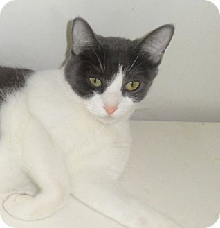 Domestic Shorthair Cat for adoption in Plano, Texas - ECLAIR - TOO PLAYFUL??