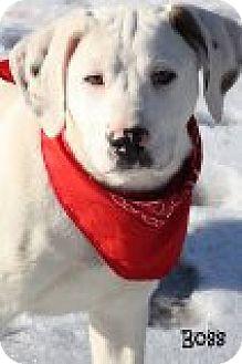 American Bulldog Mix Puppy for adoption in Glastonbury, Connecticut - Boss