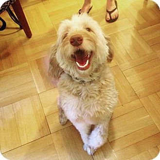 Goldendoodle Mix Dog for adoption in Astoria, New York - Cody