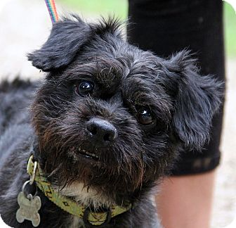 Brussels Griffon/Schnauzer (Miniature) Mix Dog for adoption in Chicago, Illinois - DIDDLEY- great little guy