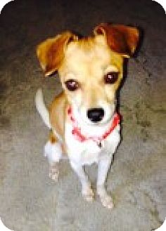 Chihuahua Mix Dog for adoption in Las Vegas, Nevada - Molly formerly Monthy