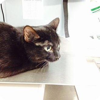 Domestic Shorthair Cat for adoption in Oak Park, Illinois - Niagara