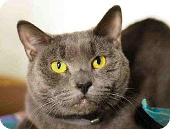 Russian Blue Cat for adoption in Manhattan, New York - Apple