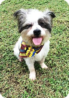 Terrier (Unknown Type, Small)/Boston Terrier Mix Dog for adoption in Boca Raton, Florida - Charlie