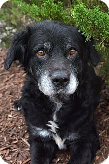 Flat-Coated Retriever Mix Dog for adoption in Wilmington, North Carolina - Noah
