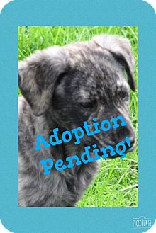 Catahoula Leopard Dog Mix Puppy for adoption in Westwood, New Jersey - Nile