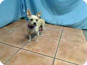 Chihuahua Dog for adoption in Fullerton, California - Mama 1