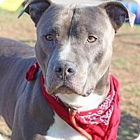 Adopt A Pet :: Christian Grey - Southampton, PA