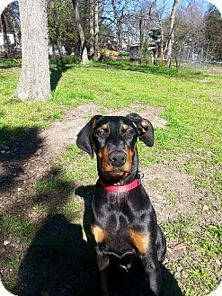 Doberman Pinscher Puppy for adoption in killeen, Texas - Lexi