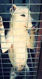 Pit Bull Terrier/Labrador Retriever Mix Dog for adoption in Odessa, Texas - Chyna