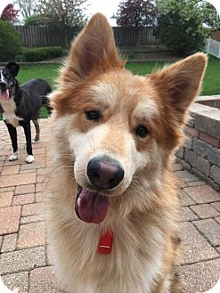 Husky/German Shepherd Dog Mix Dog for adoption in Sugar Grove, Illinois - Riley