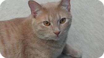Domestic Shorthair Cat for adoption in Fenton, Missouri - Tex