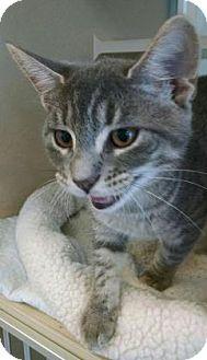Domestic Shorthair Kitten for adoption in Gloucester, Virginia - FRANCE