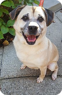 Pug/Beagle Mix Dog for adoption in Fennville, Michigan - Zachary