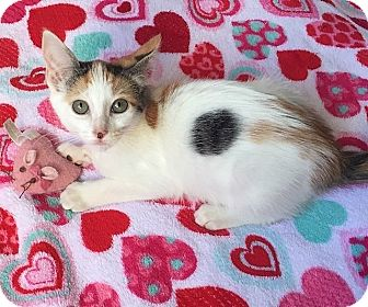 Domestic Shorthair Kitten for adoption in Tampa, Florida - Anna
