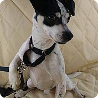 Adopt A Pet :: Tinton Falls NJ - Mickey - New Jersey, NJ