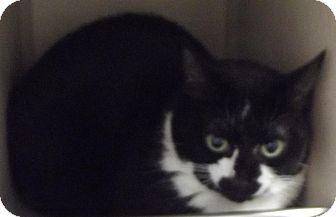 Domestic Shorthair Cat for adoption in Cheboygan, Michigan - Lcuy