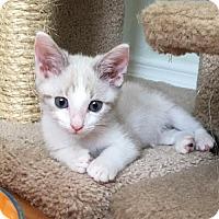 Domestic Shorthair Kitten for adoption in Lakewood, California - SHELBY