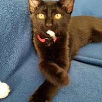 Domestic Shorthair Kitten for adoption in Lawton, Oklahoma - RUBY