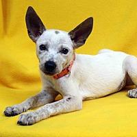 Adopt A Pet :: Evan - Westminster, CO