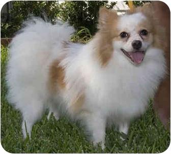 Pomeranian Mix Dog for adoption in Houston, Texas - Princess Fluffy