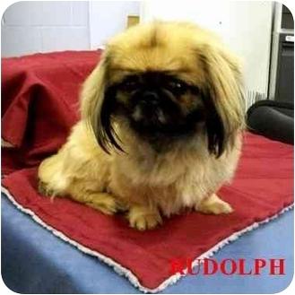 Pekingese Mix Dog for adoption in Slidell, Louisiana - Rudolph