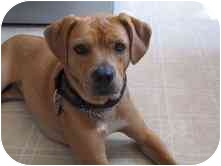 Labrador Retriever/Pit Bull Terrier Mix Dog for adoption in kennebunkport, Maine - Zoey - in NE  - Foster Needed!