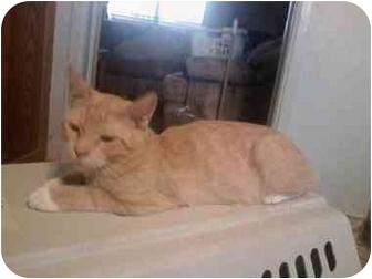 Domestic Shorthair Kitten for adoption in Washington Terrace, Utah - Simba