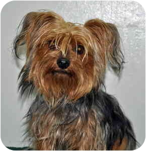 Yorkie, Yorkshire Terrier Dog for adoption in Port Washington, New York - Cookie